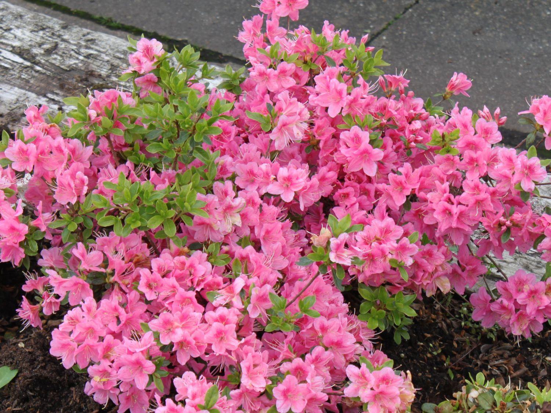 Japanische Azalee Oslava Rhododendron Obtusum Oslava Baumschule Horstmann Bepflanzung Rosafarbene Bluten