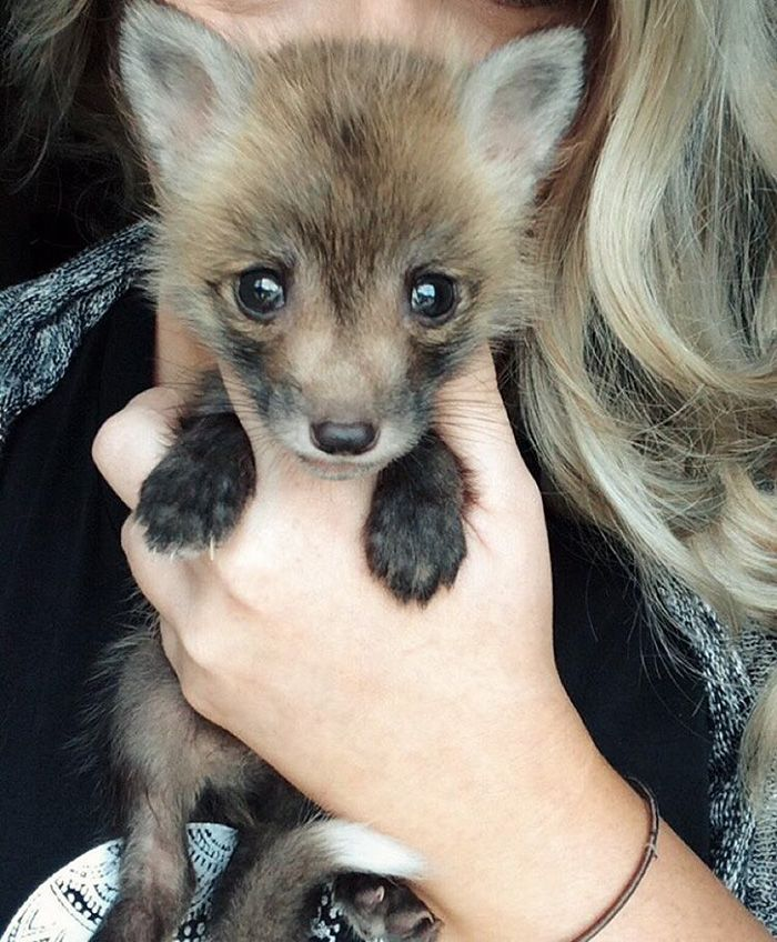 Dog Toys You Can Make From Things Around The House Fox Pups - Domesticated baby fox is the cutest and sleepiest pet ever