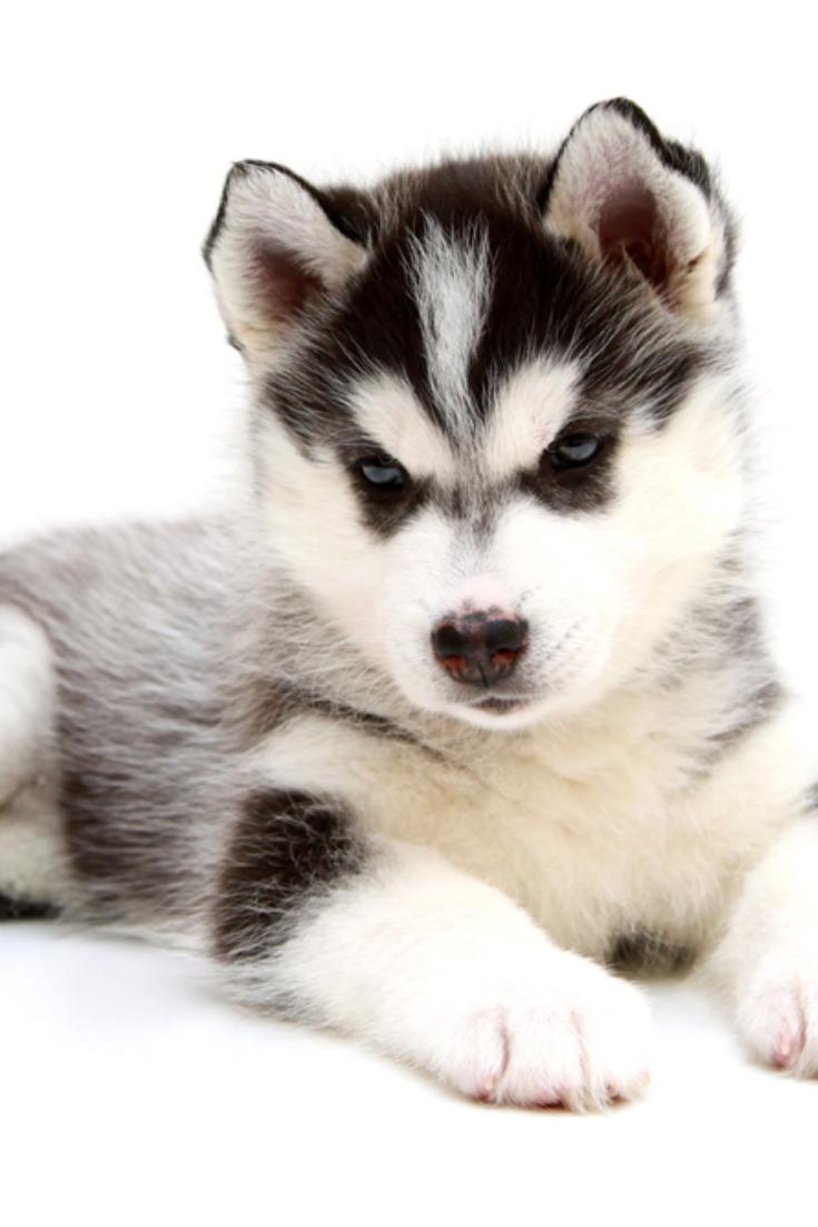 Siberian Husky Puppy Siberianhusky