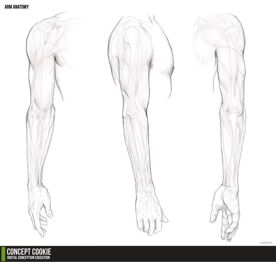 Anatomy Resource: The Arms by *ConceptCookie on deviantART ...