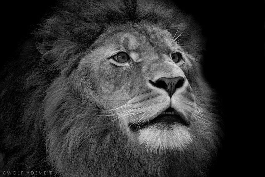"""OLD LION PORTRAIT"" by Wolf Ademeit, via 500px."