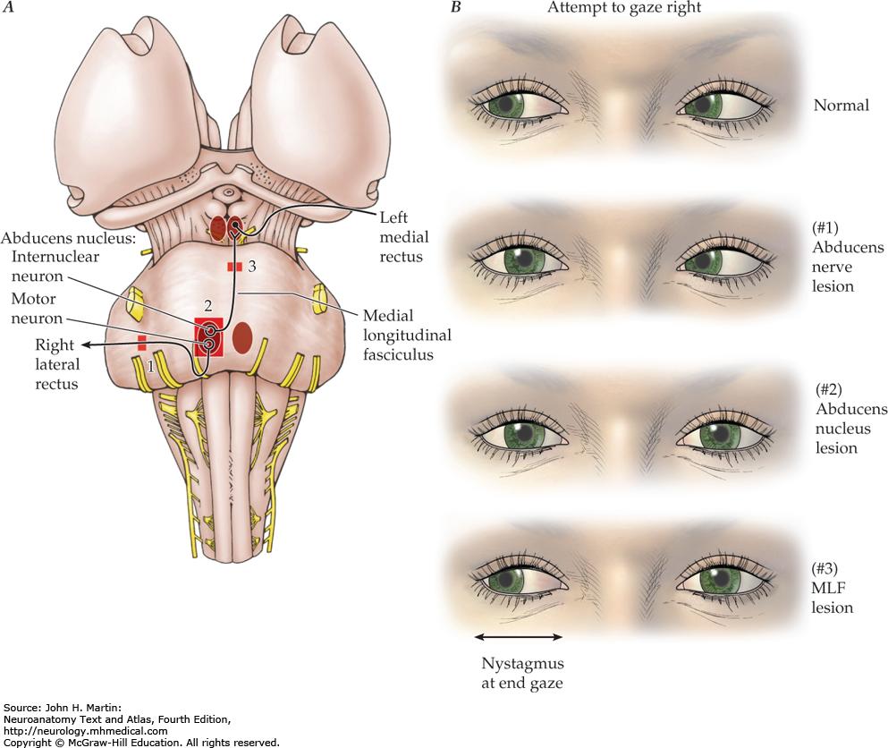 nerve ved øjet