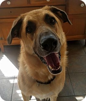 Chicago Il German Shepherd Dog Anatolian Shepherd Mix Meet