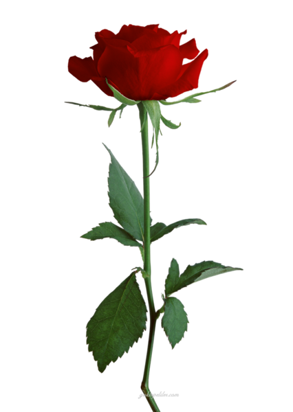 Red Rose Png Png Red Rose Gifs New Big Red Rose Gifs Good Big Red Rose Gifs Png Rose Background Rose Flower Png Beautiful Rose Flowers