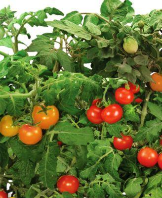 Goodful By Aerogarden Cherry Tomato 6 Pod Seed Kit Reviews