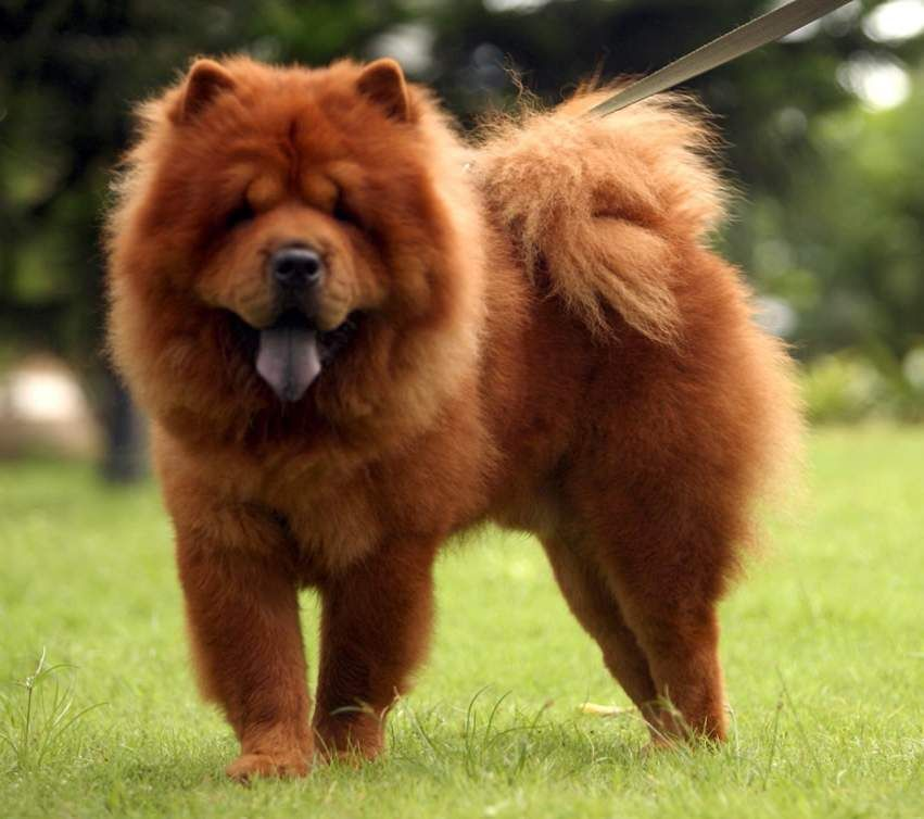 Chow Chow Sometimes Simply Chow Is A Dog Breed Originally From