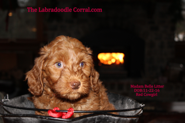 Madam Belle's Red Girl 112216 The Labradoodle Corral