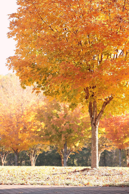 fall, yellow leaves, trees, Kristin Vining Photography, Charlotte Wedding Photographer
