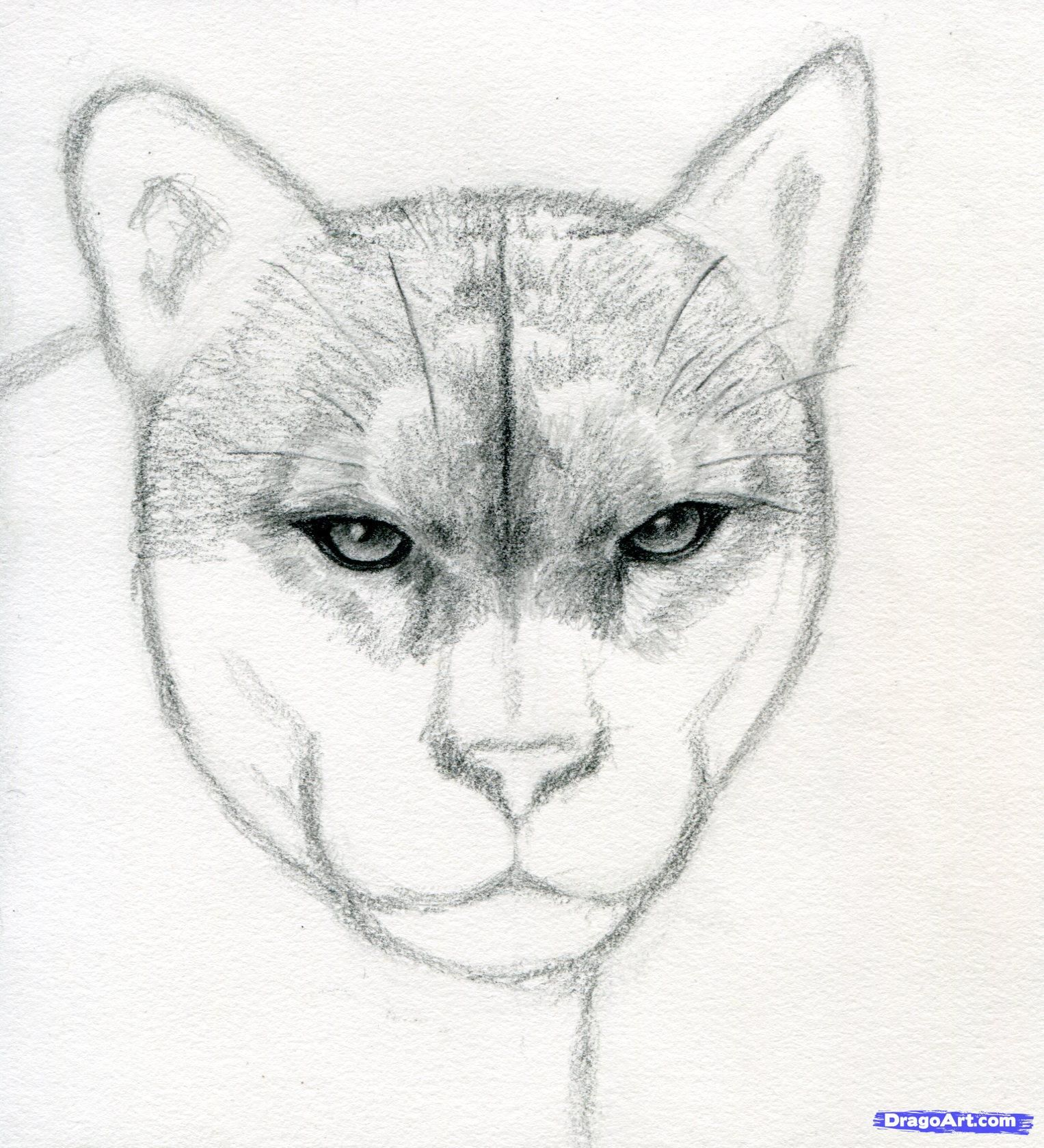 How To Draw A Realistic Puma Mountain Lion Step By Step Forest Mountain Lion Animal Drawings Cat Drawing Tutorial