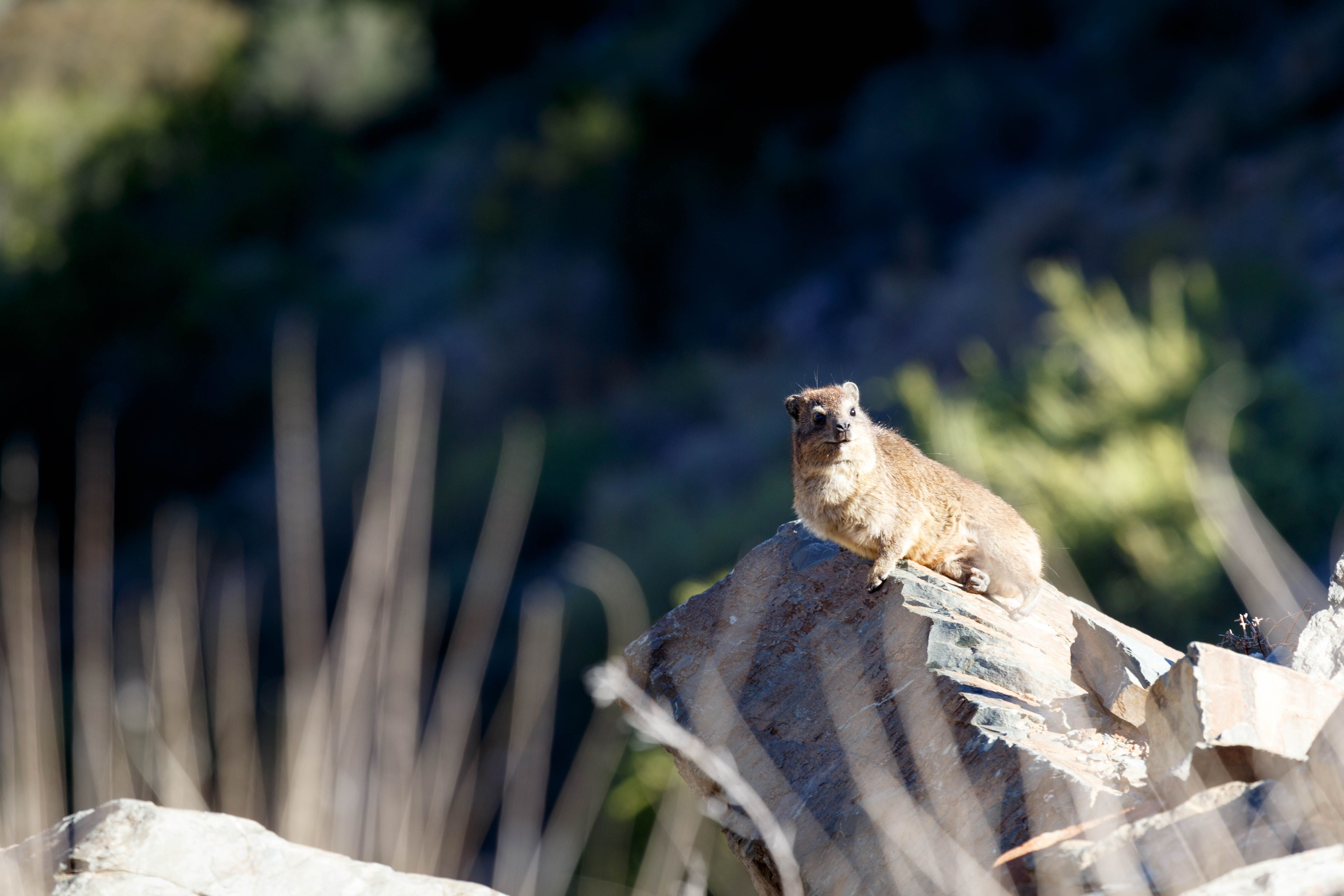 Dassie Sitting on a Rock - Rock hyrax Dassie Sitting on a Rock - The rock hyrax or rock badger, also called the Cape hyrax and commonly referred to in South African English as the dassie, is one of the four living species of the order Hyracoidea, and the only living species in the genus Procavia
