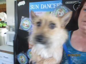 Scotty Is An Adoptable Cairn Terrier Dog In Norwalk Ct Please Come And Meet Me Saturdays Sundays Spca Of Connecticut Anim Terrier Dogs Dog Adoption Pets