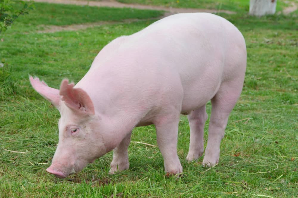 yorkshire pig Google Search in 2020 Pig breeds, Dogs
