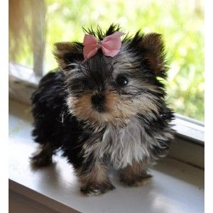 Micro Teacup Morkie Princess Sold Moving To Virginia Teacu