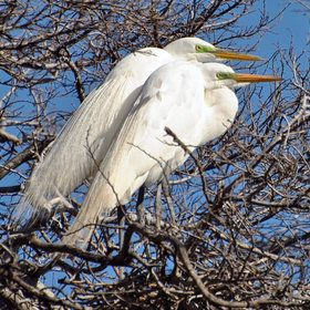 Great White Egret couple...they nest in trees