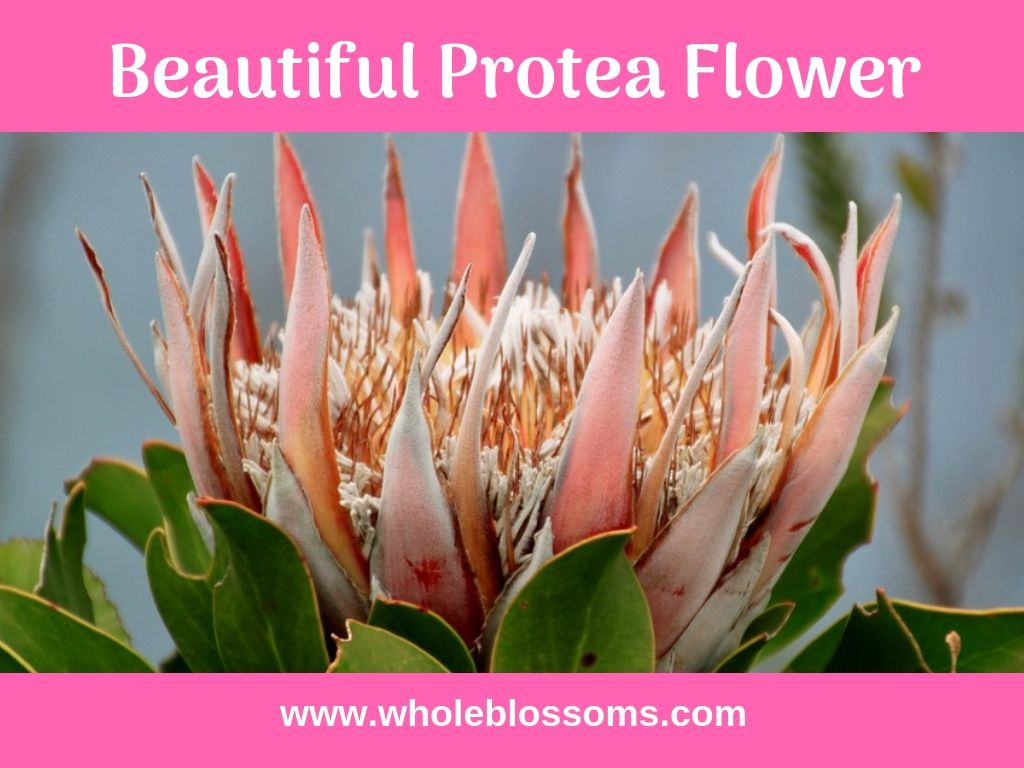 Protea Flower Set The Mood Of The Entire Event And Available In Various Varieties Such As Pincushion Protea Queen Protea Protea Flower Blossom Flowers Online