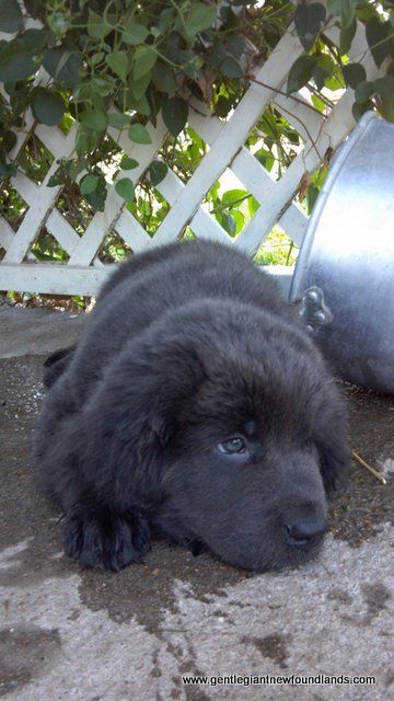 Gentle Giant Newfoundlands, Newfoundlands, Belleville, KS