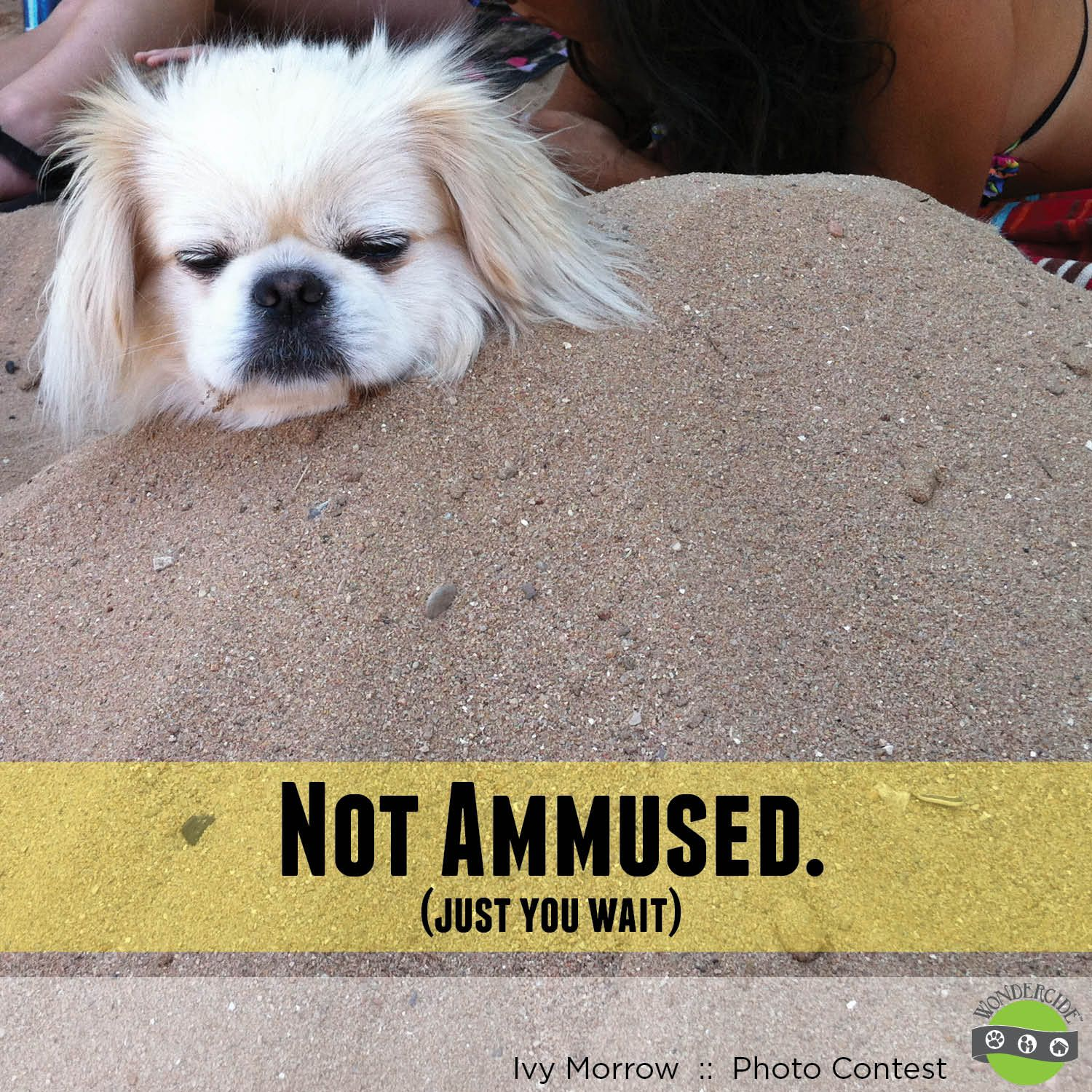 Funny Dog Picture Peekapoo Burried In The Sand Like Us On