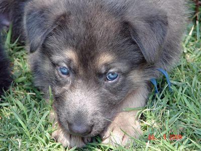 Blue Eyed German Shep Pup Blue German Shepherd Puppies Blue