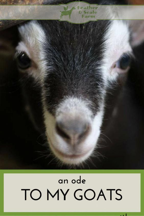 Pioneering goat farming homesteads Exclusive