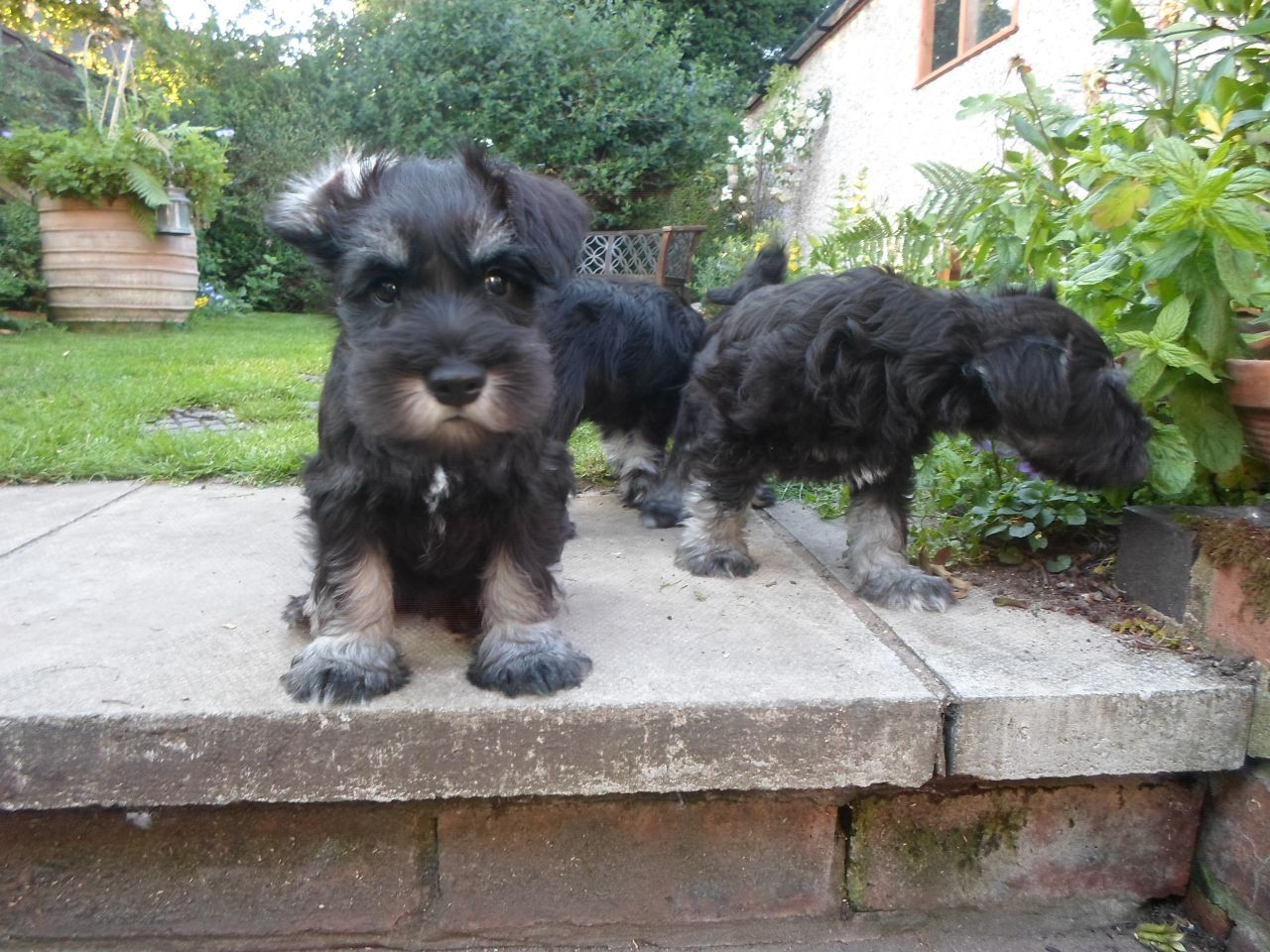 The Miniature Schnauzer Is A Good Dog For Apartment Life And Can Be Calm Indoors So Long Miniature Schnauzer Miniature Schnauzer Puppies Mini Schnauzer Puppies