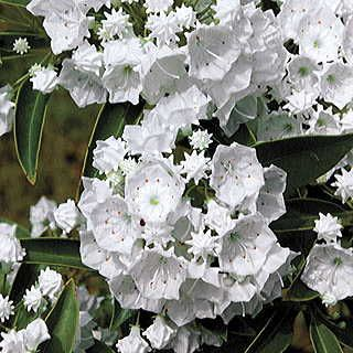 Pristine Mountain Laurel Shade Loving Shrubs Mountain Laurel Kalmia Latifolia