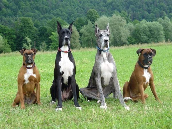 Boxer Great Dane Love Love Love Big Dog Breeds Big Dogs Dogs
