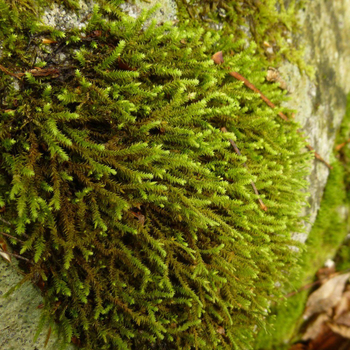 Pin On Garden. Plants -- Bryophyte... Moss