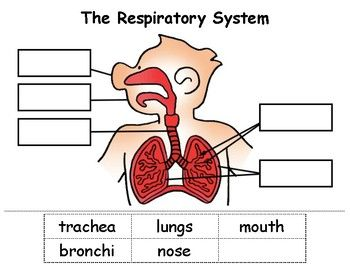 Respiratory system cut paste respiratory system worksheets and kindergarten ccuart Choice Image
