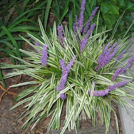 Lirope muscari 39 variegata 39 aztec grass sun shade for Variegated grass plant