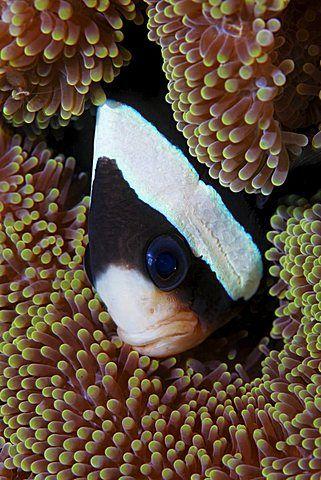 Clarkii Clownfish Anemone