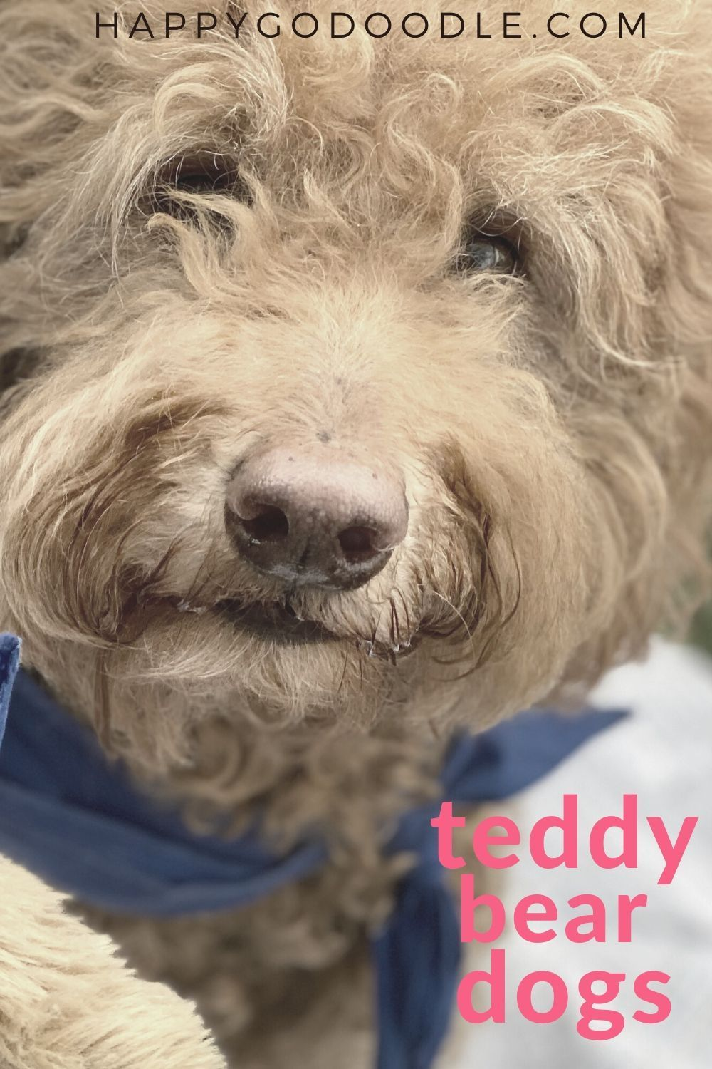 The Teddy Bear Goldendoodle 5 Things You May Not Know