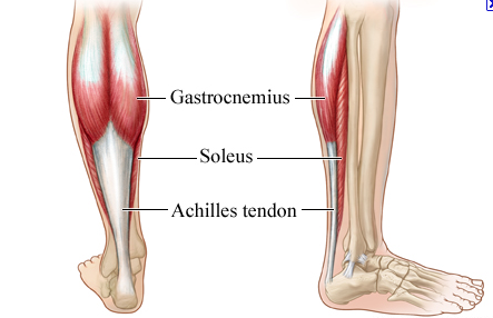 soleus - The muscle that can pull with the greatest force is the soleus, underneath the calf muscle. It is … (With images) | Calf exercises, Best calf exercises, Calves exercise