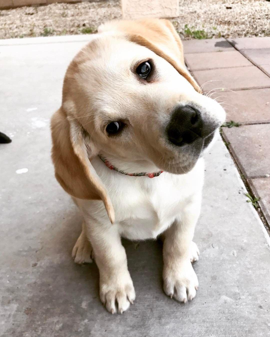 Pinterest Awipmegan Labrador Retriever Labrador Puppy Labrador