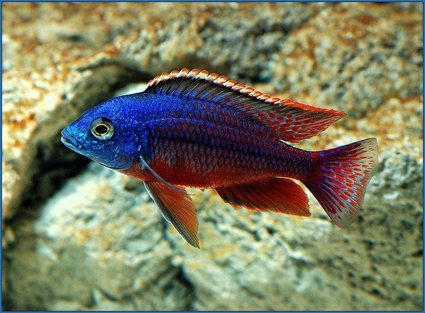 Freshwater tropical fish species water life for Rare freshwater aquarium fish
