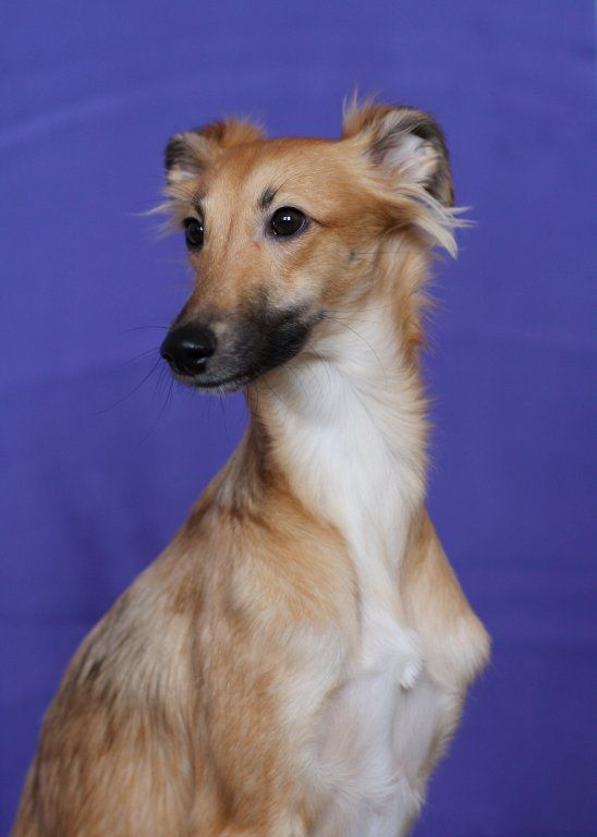 longhaired whippet. purebreds