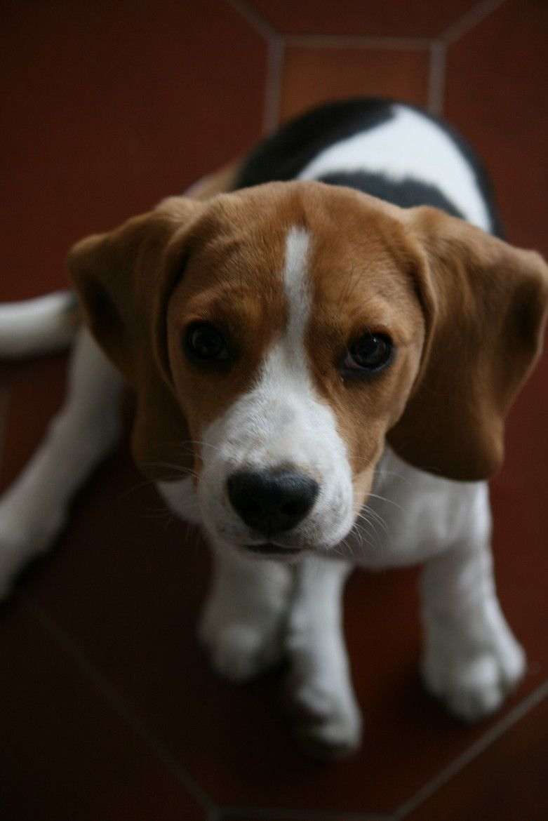 Amazing Snoopy Beagle Beagle Adorable Dog - be6e189f7ed242d41750be310b1e5342  Gallery_80165  .jpg