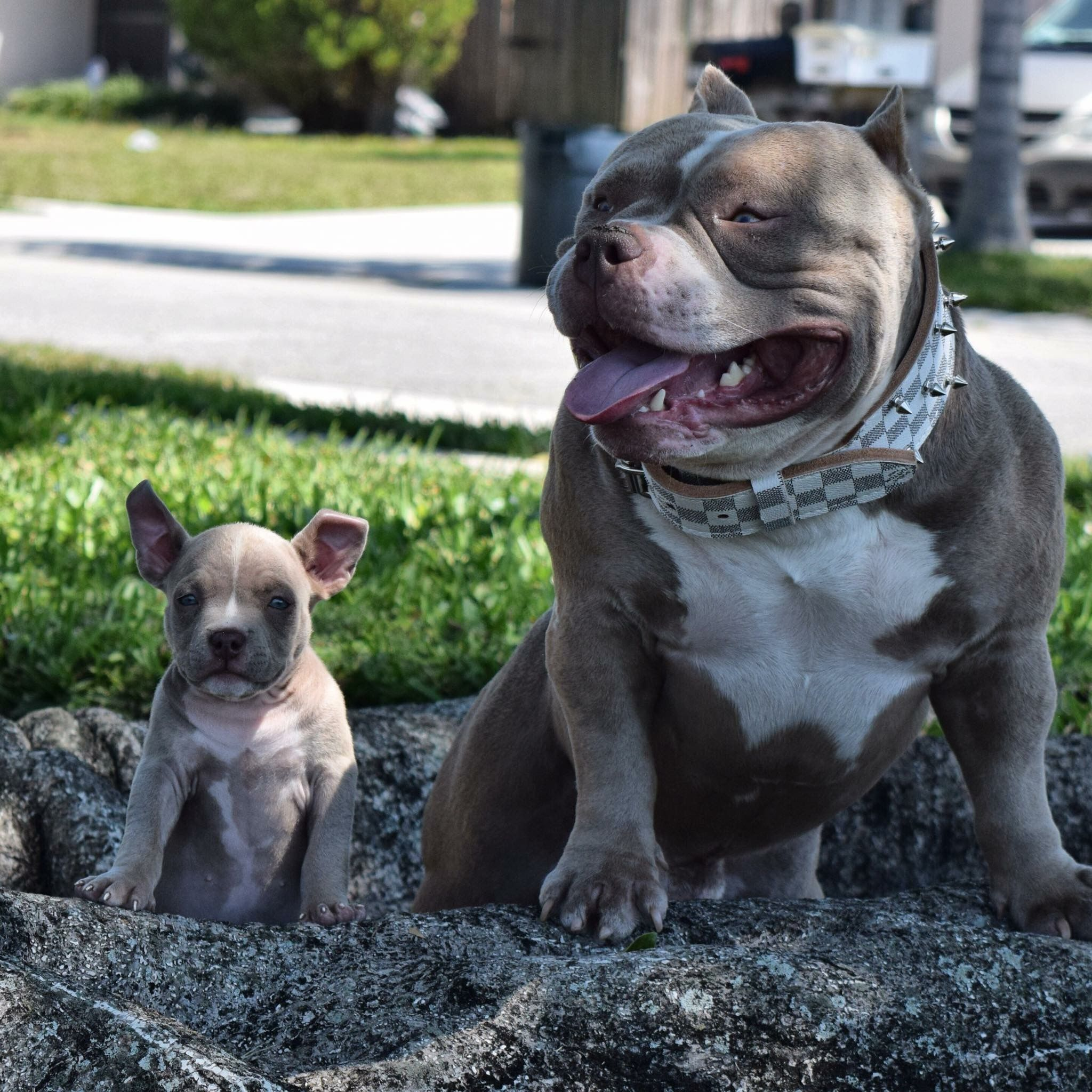 Best Extreme Build Pocket American Bully Breeder Texas Size