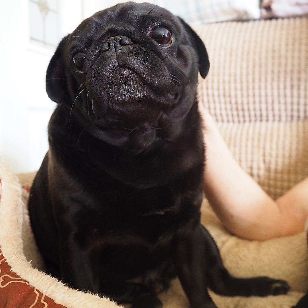 A Friend A Companion I Love You Lol Carlin Pug Dog Chien Doguillo Baby Adorable Pug Obsessed Pugs Pug Puppies Wallpaper pug dog pet friend black