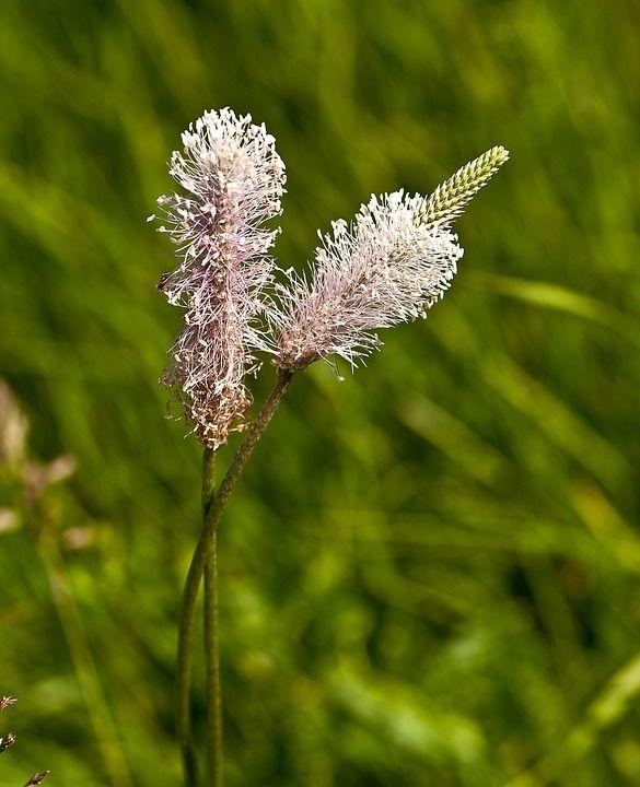 Babka Lancetowata Plants Flowers Dandelion