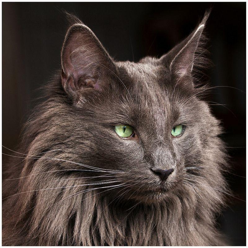 Almost black on black Norwegian forest cat, Norwegian