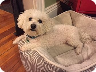 Bichon Frise Dog for adoption in Providence, Rhode Island