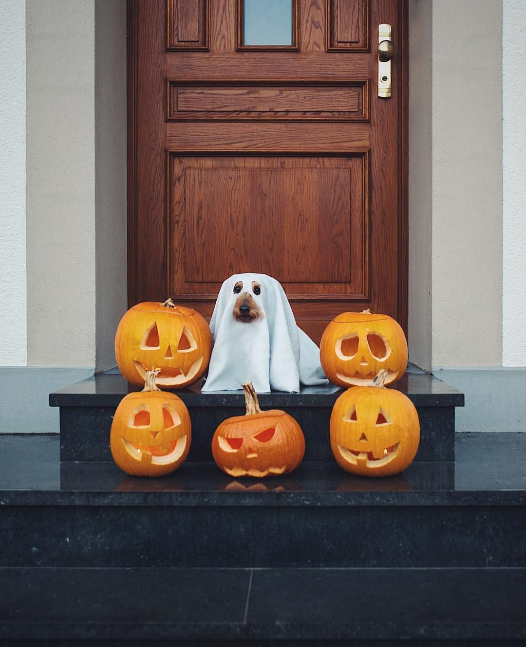 Cutest ghost ever! dogphotography halloween