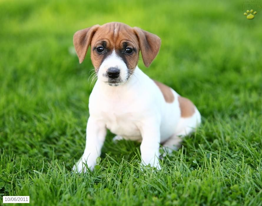 Jack Russell Terrier Puppies For Sale Jack Russell Beagle Mix