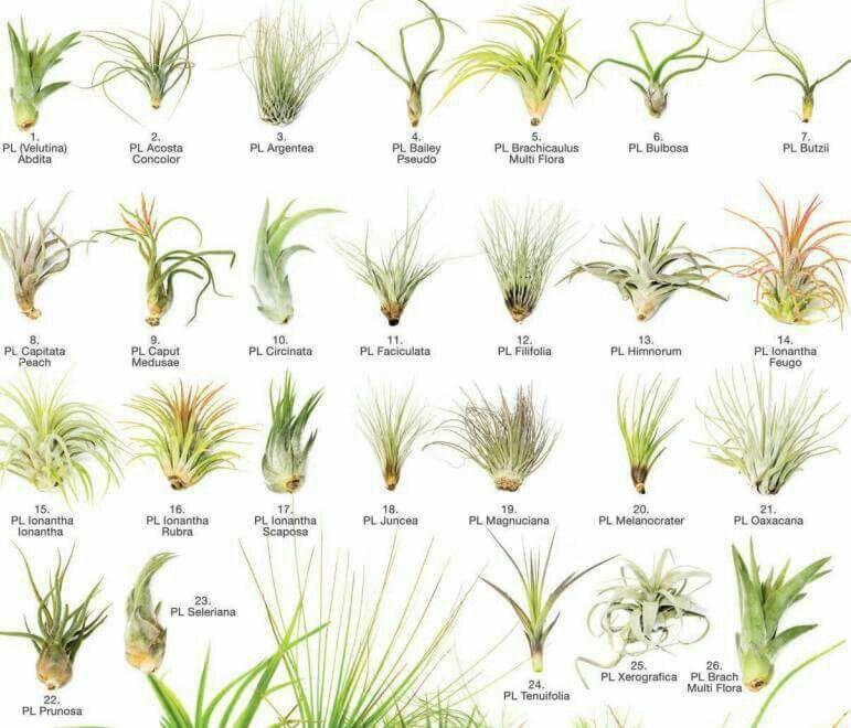 Tillandsia Species With Images Air Plants Air Plants Care Plants