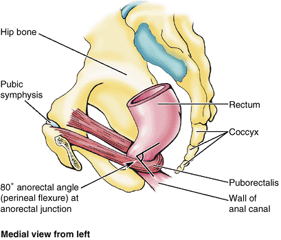 Rectum n puborectalis sling | med | Pinterest