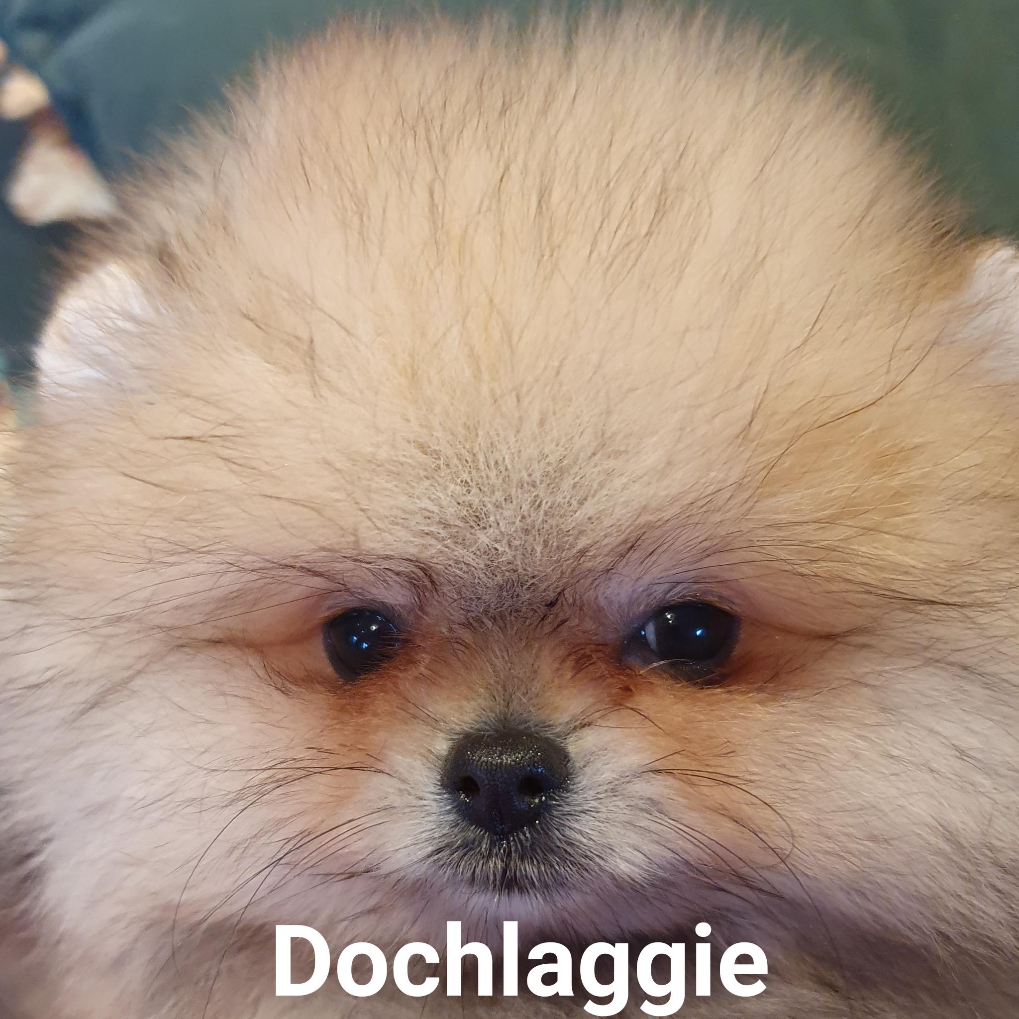 Dochlaggie Pomeranian Puppies Melbourne Dochlaggie Dochlaggiepomeranians Pomeranians Pomeranian Pomeraniandog Cute Puppies Puppies West Highland Terrier