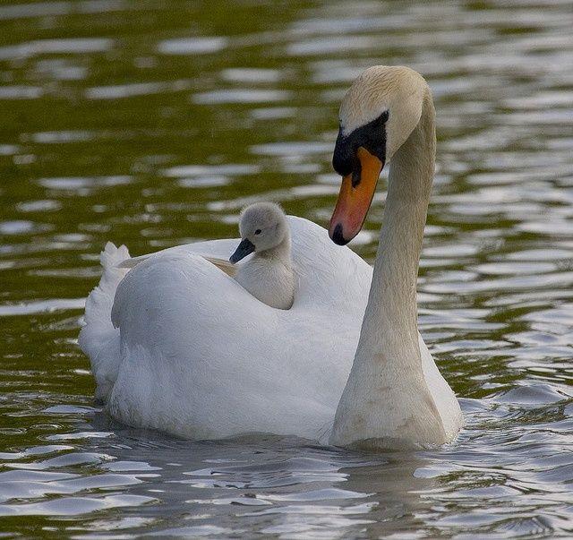 fluffy duck | Animals beautiful, Baby swan, Cute ducklings