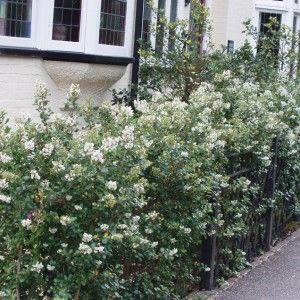 Escallonia Iveyi Is A Quick Growing Evergreen Plant With Fragrant White Flowers In Summer Ideal For Hedges Borders Or Screening