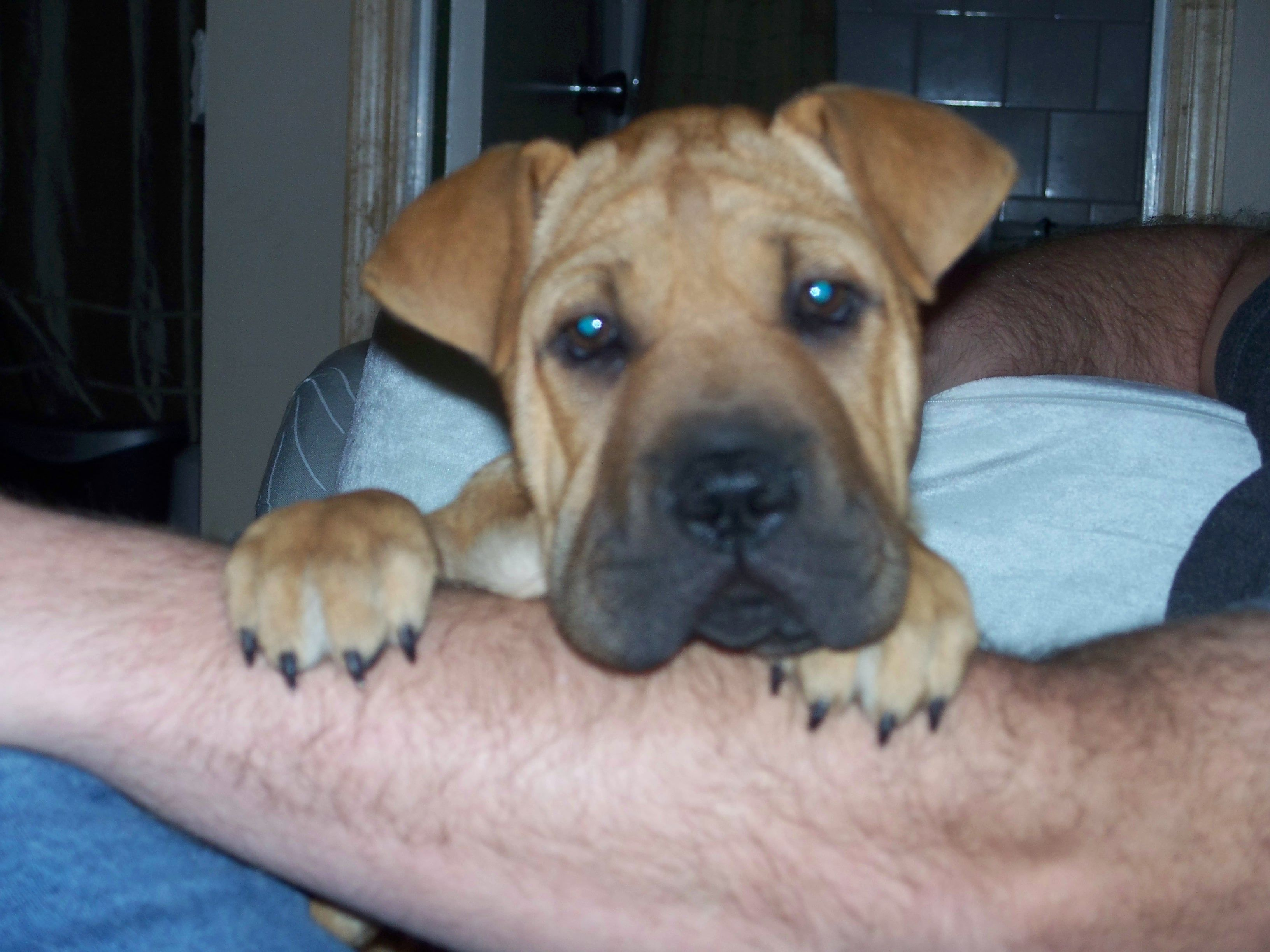 Half Shar Pei Half Boxer Adorable Dog Language Cute