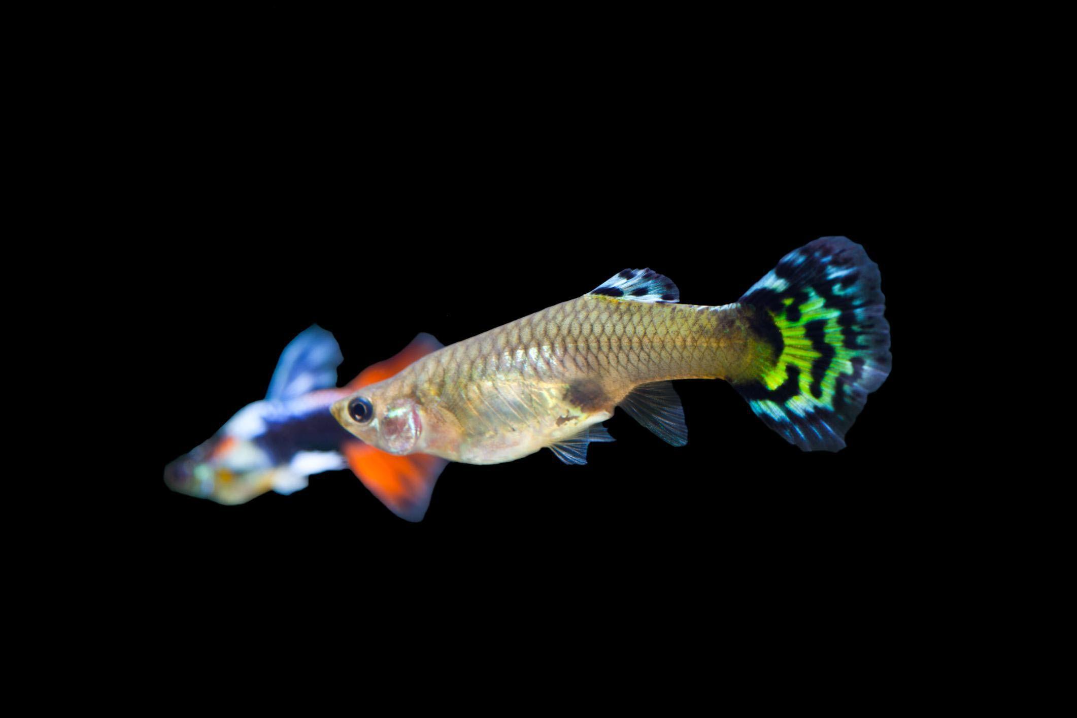 Cold Water Fish Species For Your Freshwater Aquarium Pet Fish Aquarium Fish Fish